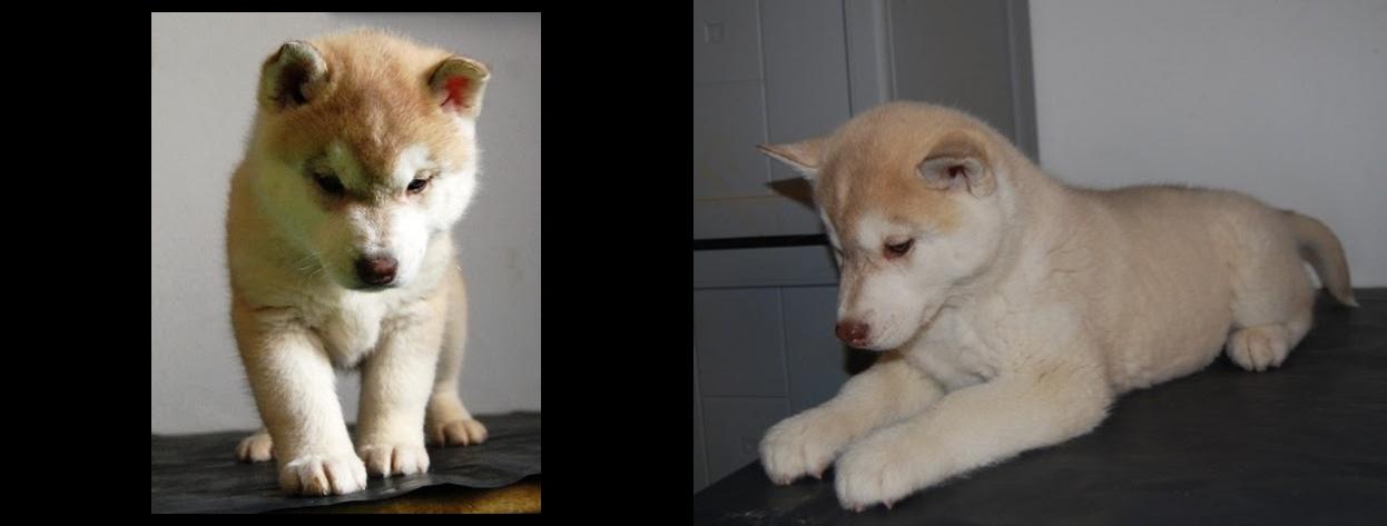 Cachorro Hembra Husky Siberiano Disponible Bichiloba y Lobezno