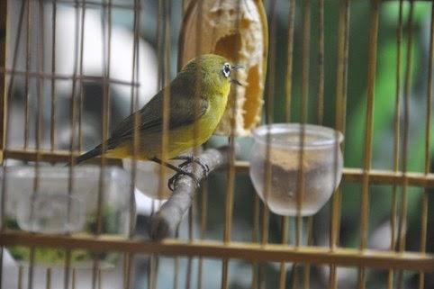 Gambar Burung Pleci Gacor
