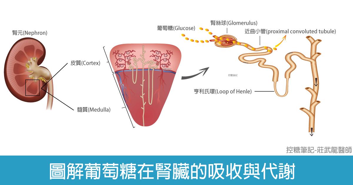 """""""圖解說明葡萄糖在腎臟及近曲小管的吸收"""""""