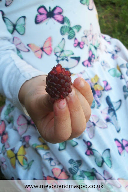enjoying eating tayberries in the summer on our allotment plot