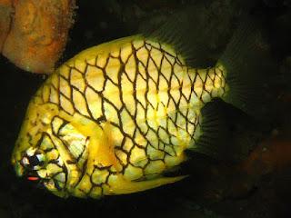 http://www.allfiveoceans.com/2016/10/pineapplefish.html