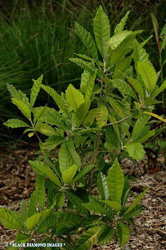 kayu santrego untuk vitalitas kopi miracle obat kuat vitalitas