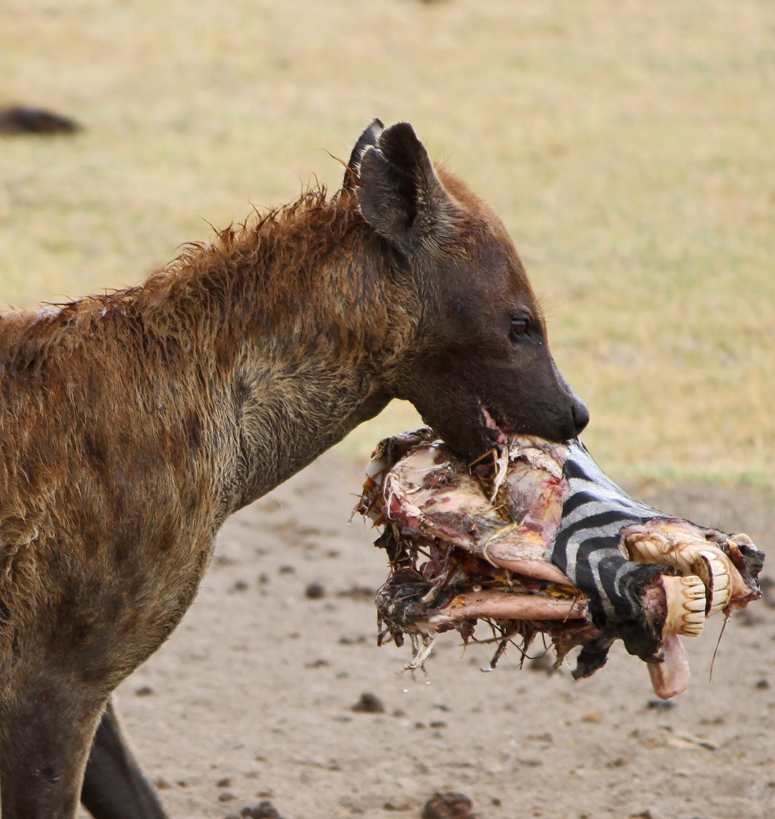 A Hyena taking off with a dead zebra's head.