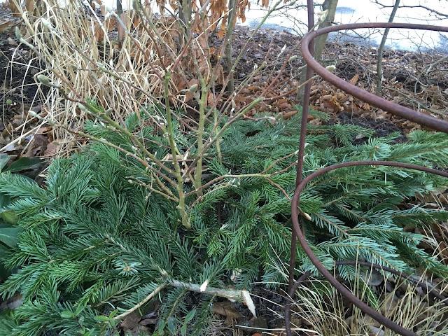 Gjenbruk av juletreet - Granbar under Magnoliatreet