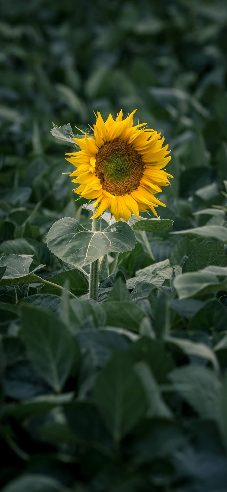 Lonely sunflower iphone xs max wallpaper
