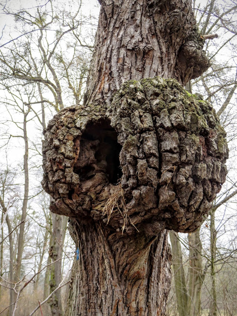 Business Trip to Munich - Tree with a large gnarl at Schloss Nymphenburg