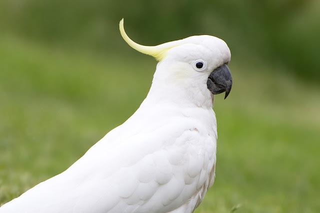 Cockatoo Lifespan - How Long Do Cockatoos Live