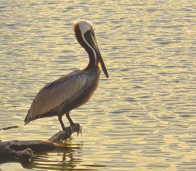 Pelican on driftwood