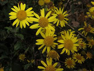 Flores amarillas de Senecio auricula