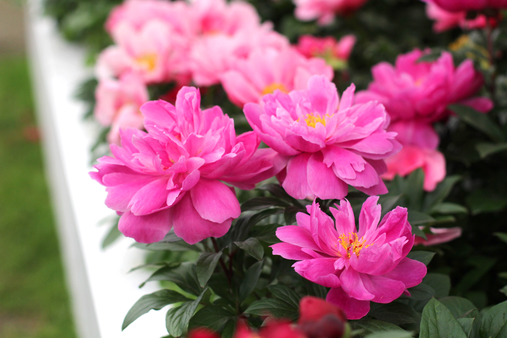 Pink peonies at Chelsea Flower Show 2018 - London lifestyle blog