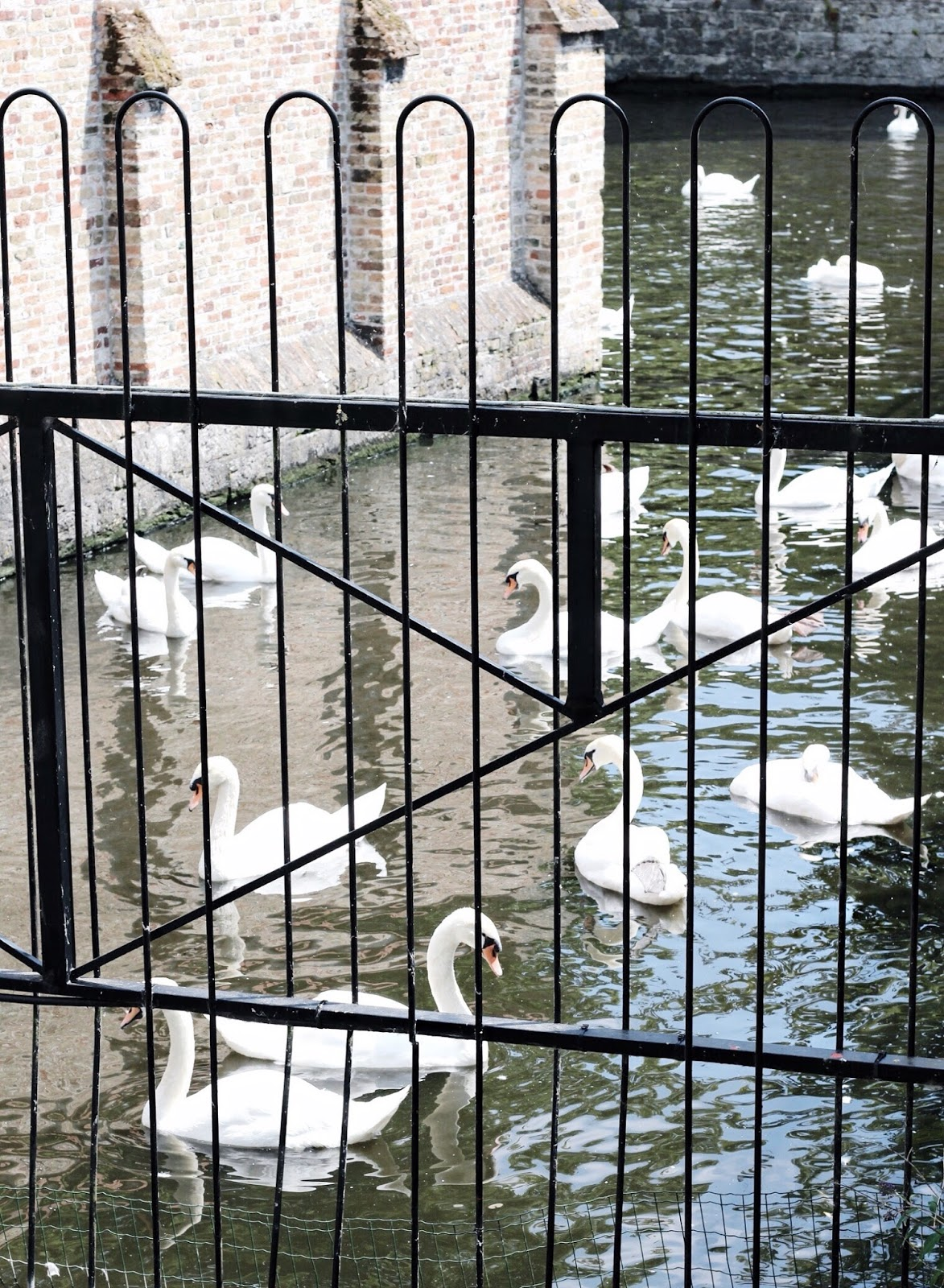 Beautiful Game of White Swans