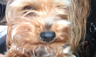 My sister Jennifer's Yorkie, Ringo July 16, 2011