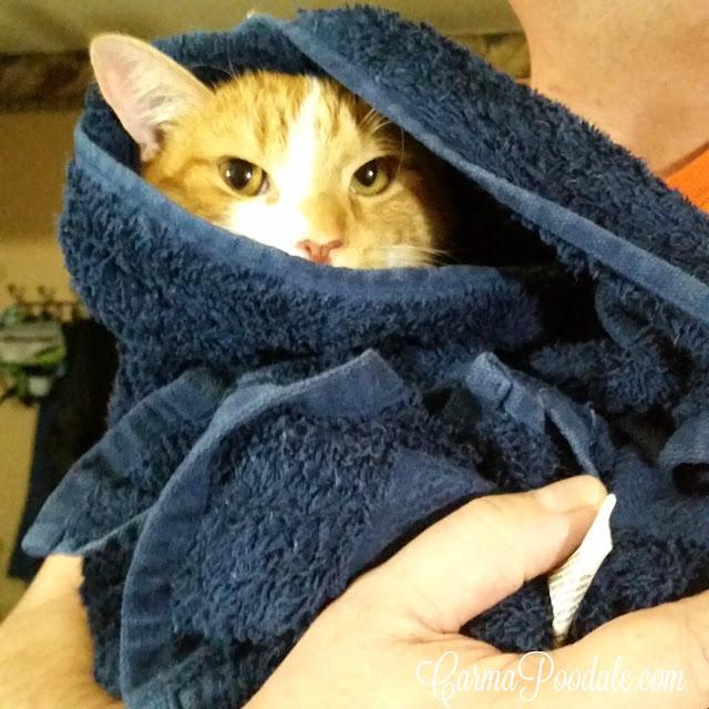 Orange tabby in a blue towel after a bath
