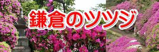 鎌倉のツツジ