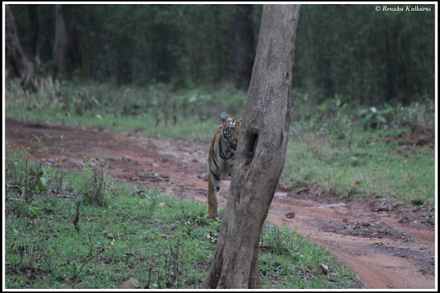 Sonam's male Cub at Tadoba