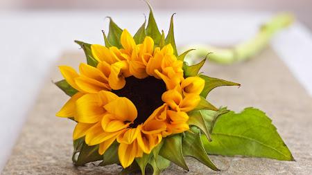 HOT Sunflower Public Domain