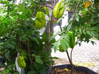 tanaman obat herbal belimbing