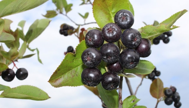 Aronia, the plant that costs almost € 1000 euros per kilogram is found throughout Albania