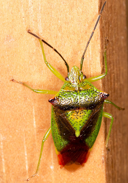 Hawthorn Shieldbug, Acanthosoma haemorrhoidale.  In my garden light trap in Hayes on 13 June 2015