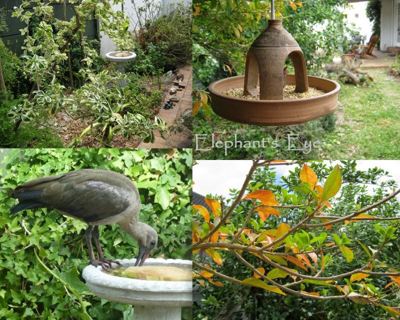 Coprosma hadeda ibis, fiddlewood
