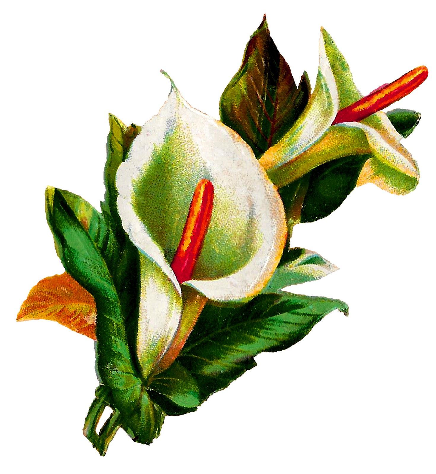 Antique images calla lily flower digital clip art botanical calla lily flower digital clip art botanical illustration image izmirmasajfo