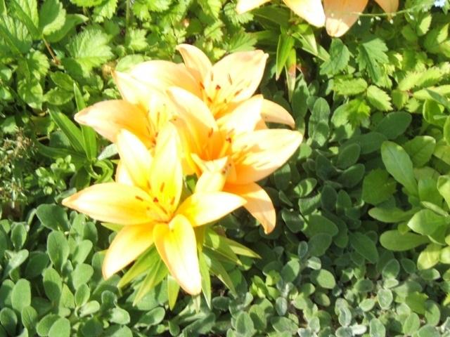 Liljoja kasvaa ja kukkii kukkapenkissä.