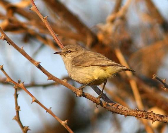 Yellow bellied Eremomela