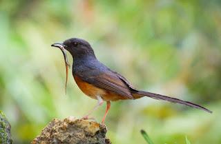 Makanan burung murai batu