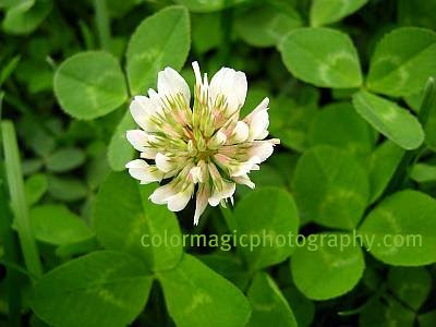 White clover-Trifolium repens flower and leaves