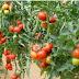 Roşii sănătoase fără pesticide. O sârmă sau o monedă de cupru pot face minuni