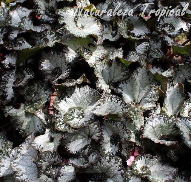 Begonia con hojas espiraladas y casi blancas en su totalidad