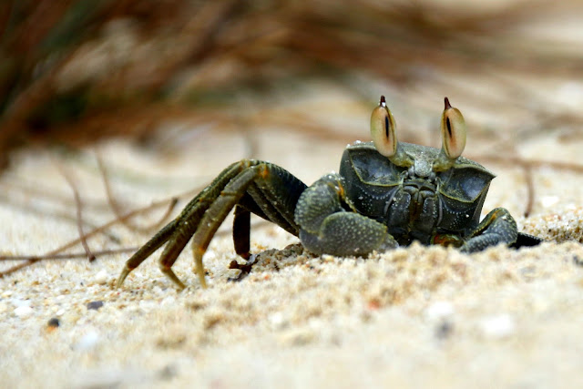 ocypode ceratophthalma, horned ghost crab