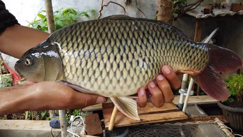 Gambar Ikan mas ( Carassius auratus ) bernafas dengan insang dan termasuk jenis ikan bertulang sejati