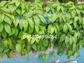 Pohon cabe Jawa berkhasiat
