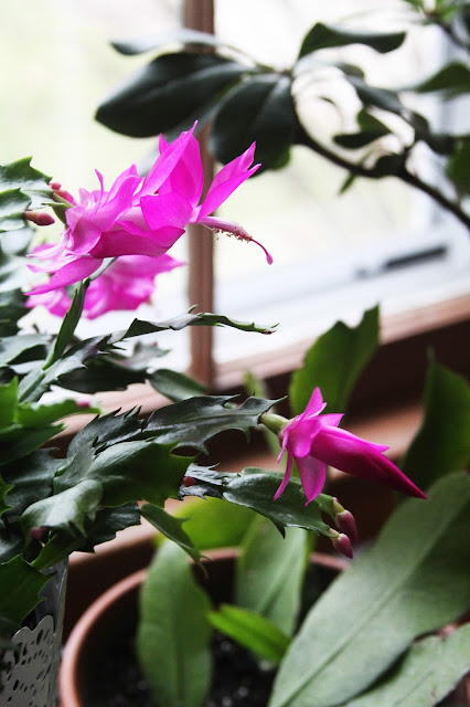 winter flowers, houseplants, christmas cactus, Anne Butera, My Giant Strawberry