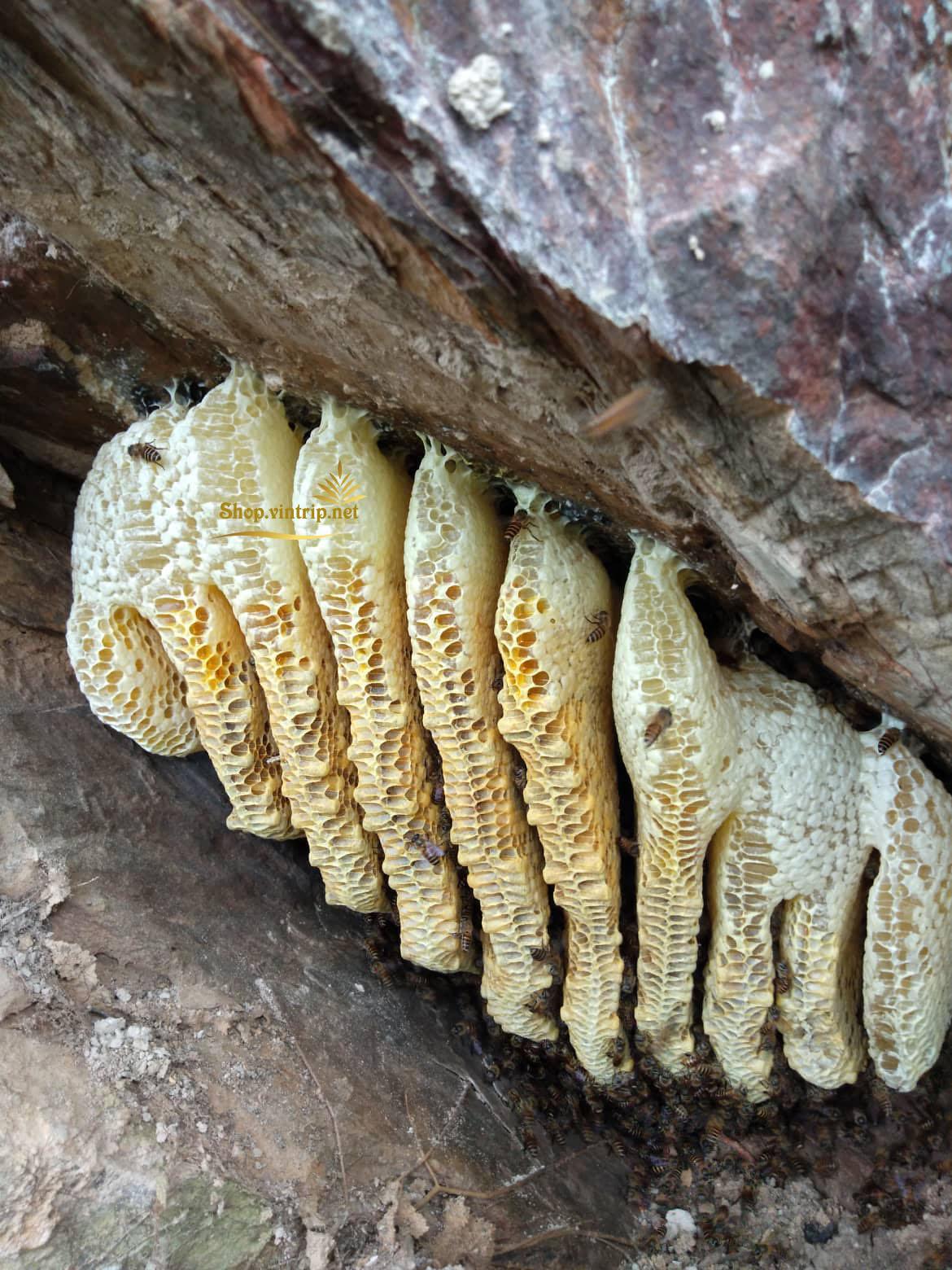 Hình ảnh thu mật tổ ong trên hốc cây núi cao