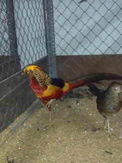 Indukan Golden Pheasant