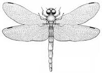 Ordo Odonata