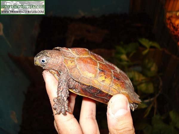 Geoemyda spengleri - Tortuga de pecho negro china