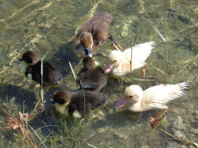Muscovy chicks meet smaller muscovy chicks