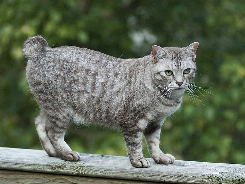 pet Gato Bobtail Americano