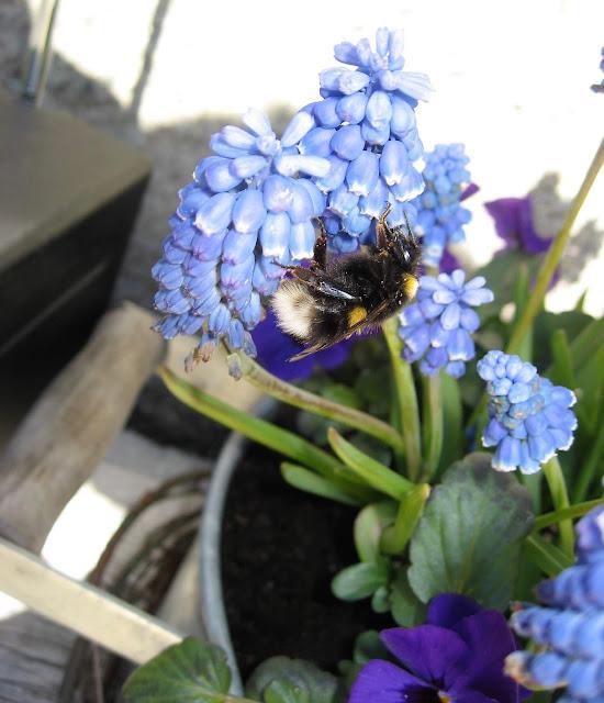 Ideer til blå blomster i vårkrukke - Blå stemor og perleblomster med humlebesøk IMG_5321 (2)