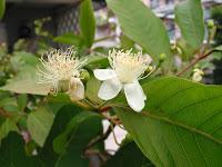 グァバの花