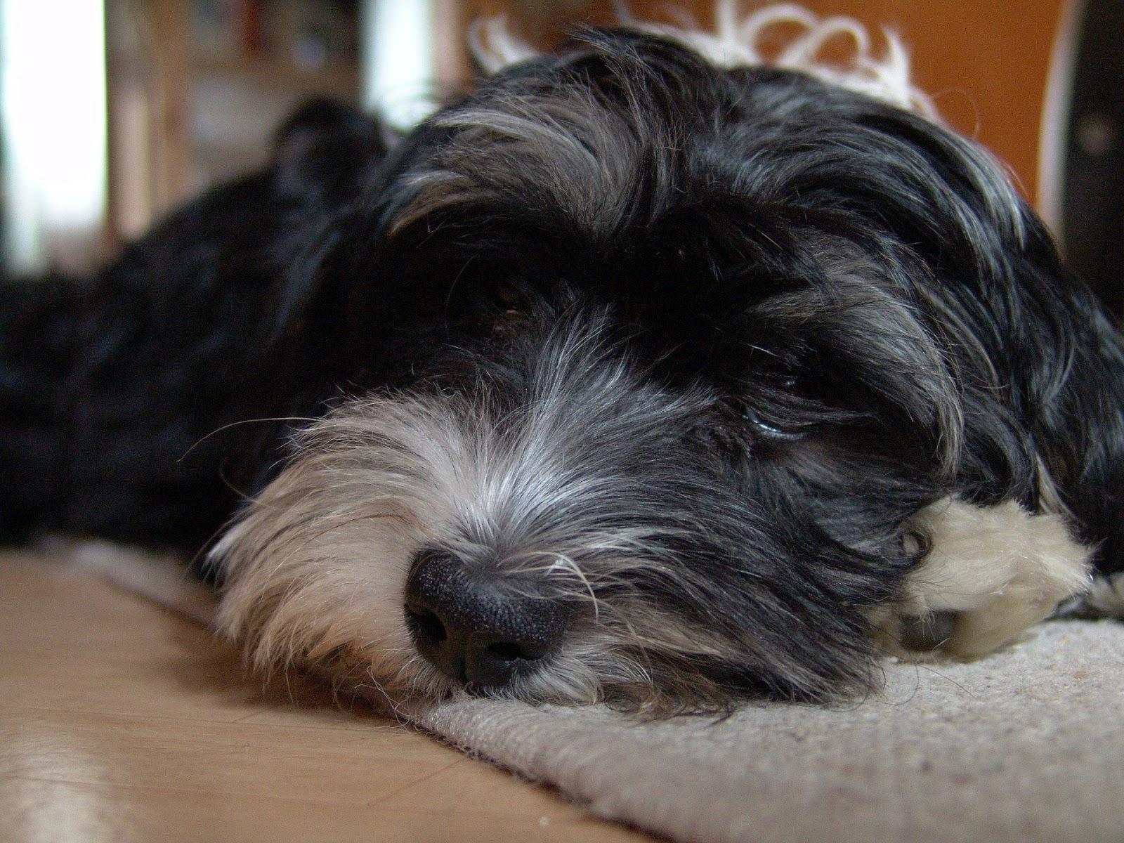 cisti nel cane della ghiandola prostatica