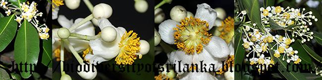 Biodiversity Of Sri Lanka ද ඹ ත ල ද ඹ Domba Tel Domba