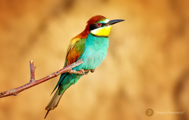 Bee-eater (Prigorie / Meropidae) 4
