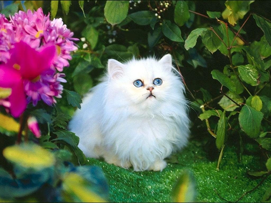 Cat Pictures Cute White Cat Pictures