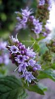 http://ilnomedeifiori.blogspot.com/2016/08/menta-minuscoli-fiori-lilla.html