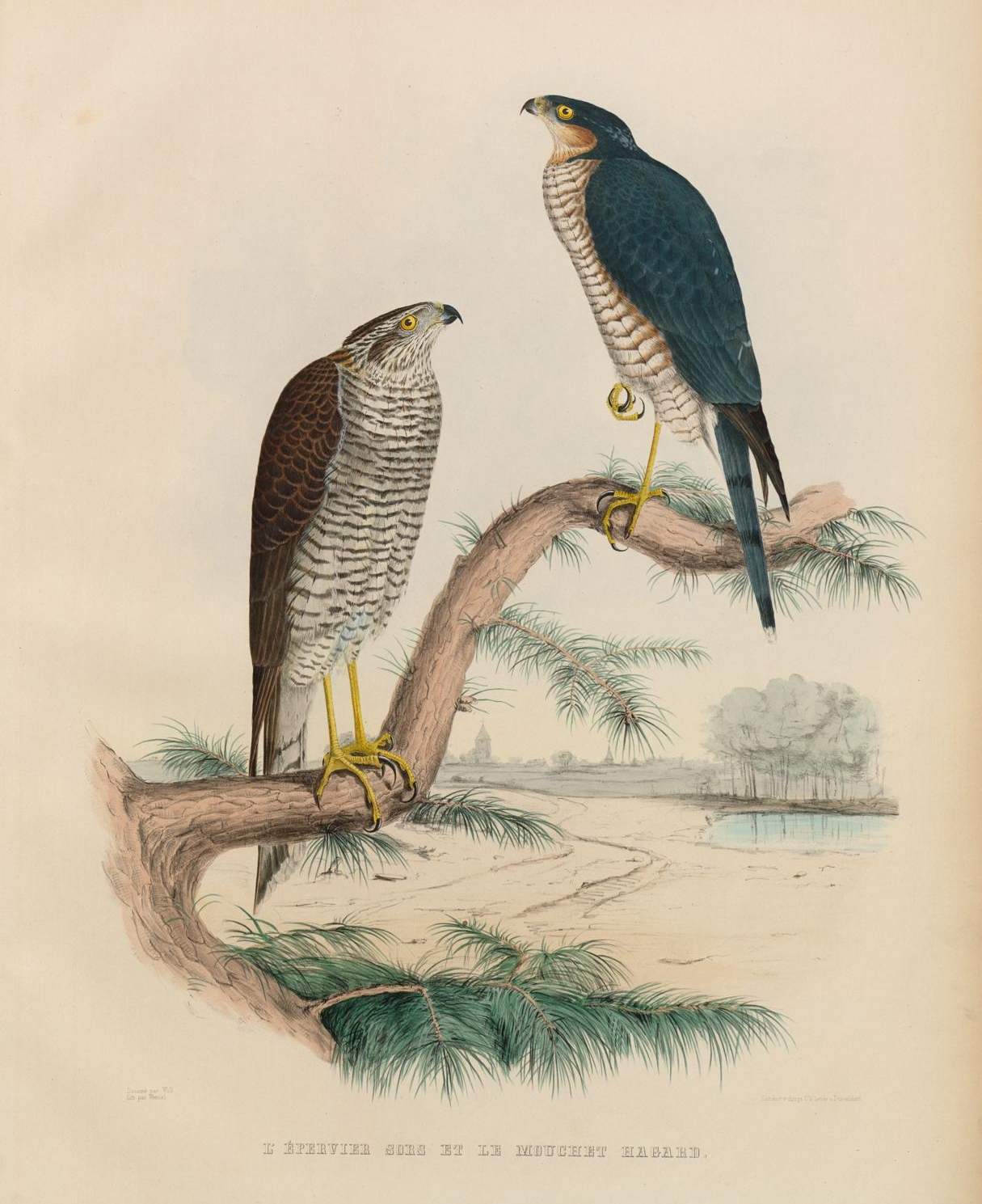 picture of two birds used in falconry