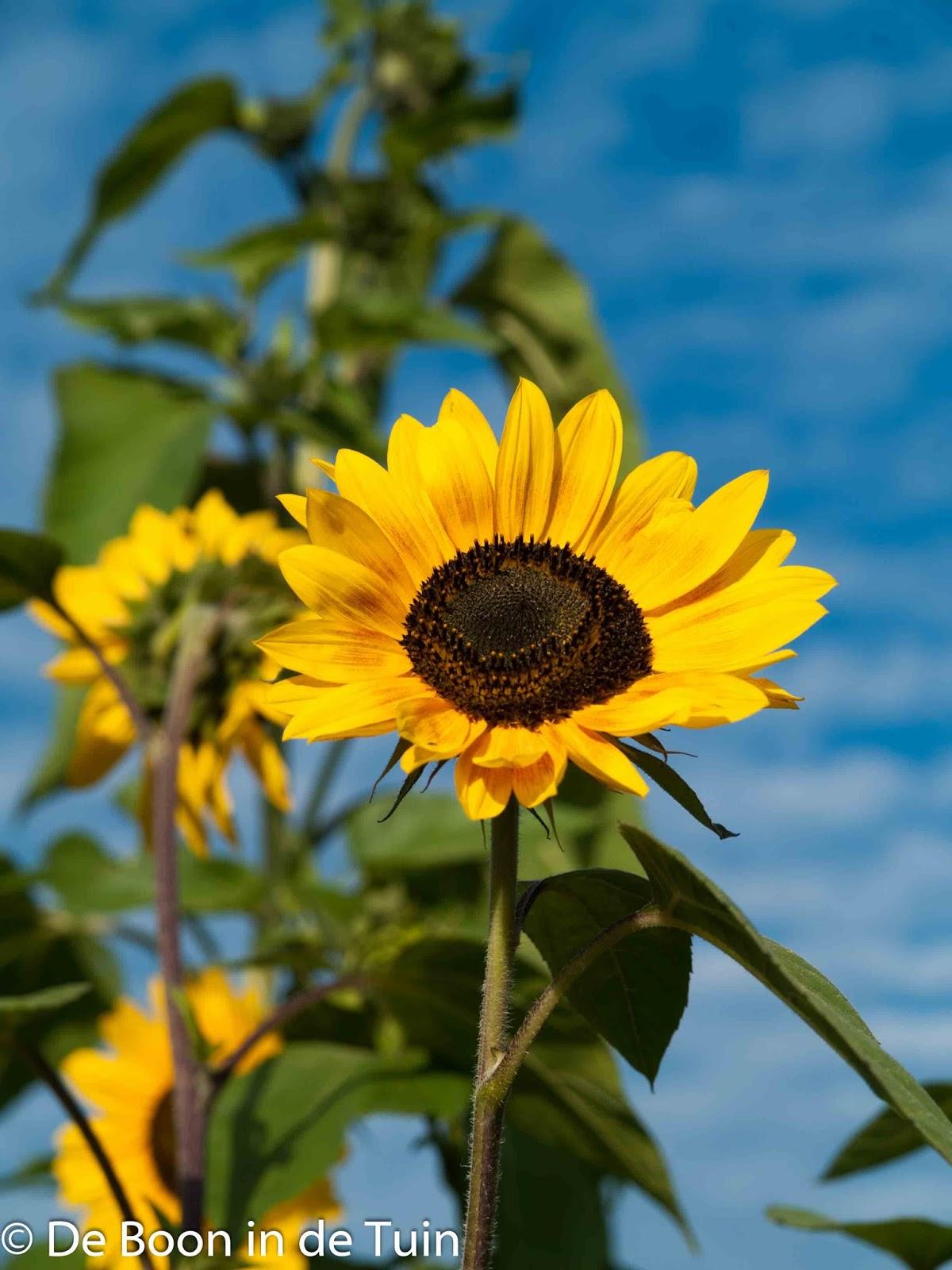 zonnebloem herfst augustus september moestuin volkstuin